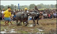 Rajapakse ploughing furrows behind buffaloes to encourage subsistence farming