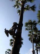 A toddy tapper shins up a palmyra tree