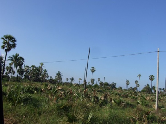 Result and Remain: Headless Palmyrah trees in Mugamaail, Jaffna districtNorth of Sri Lanka. The trees suffered as a result of war in the area-picture by Dushiyanthini Kanagasabapathipillai