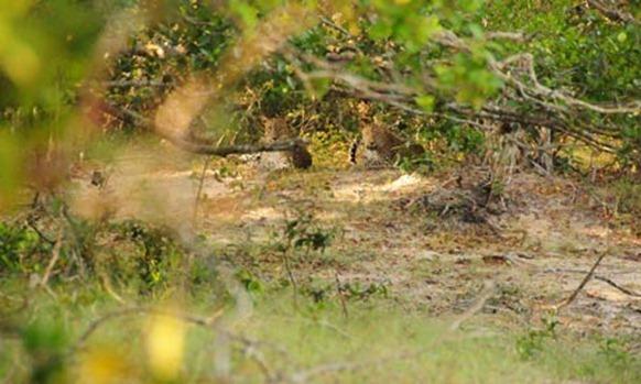 Leopards-in--Wilpattu-Nat-007