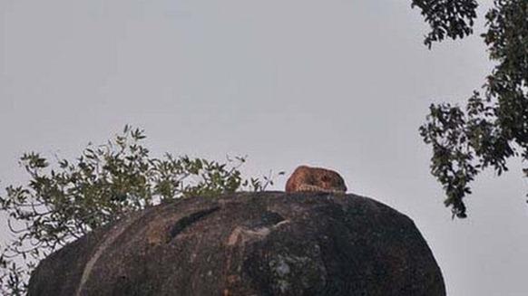 Yala is Sri Lanka's most famous habitat for leopards.